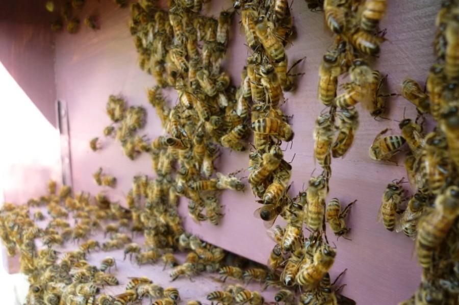 Fa anche caldo per le api: 35+ °C, gruppi di api fuori dall'alveare