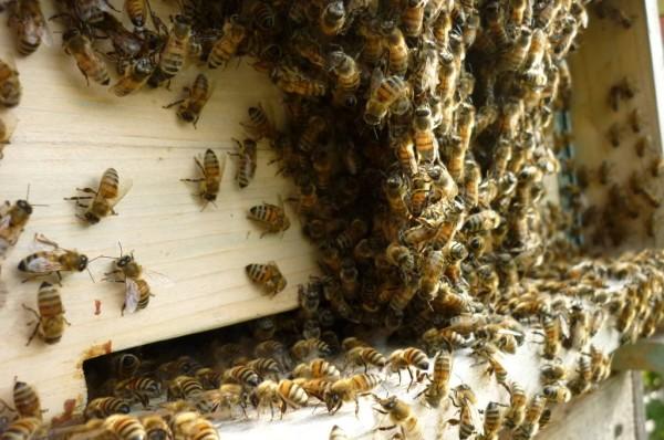 Grappoli di api fuori dall'alveare alla sera quandole api bottinatricitornano a casa.