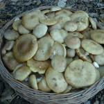 Preparazione e Conservazione dei Funghi Chiodini