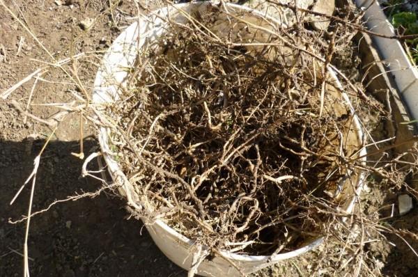 Un secchio pieno di radici di gramigna. La gramigna comincia a crescere piu tardi perche sta nella terra ancora fredda, ma quando comincia a crescere, cresce con una velocita incredibile