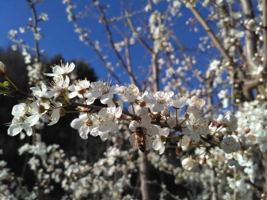 ape su fioritura amolo marzo