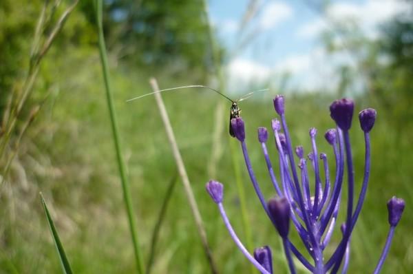 piccola farfalla con antenne grandissime